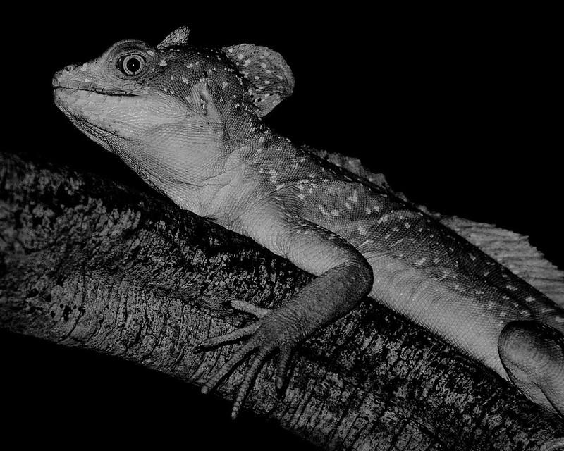 Mono Basilisk Lizard 2 130321