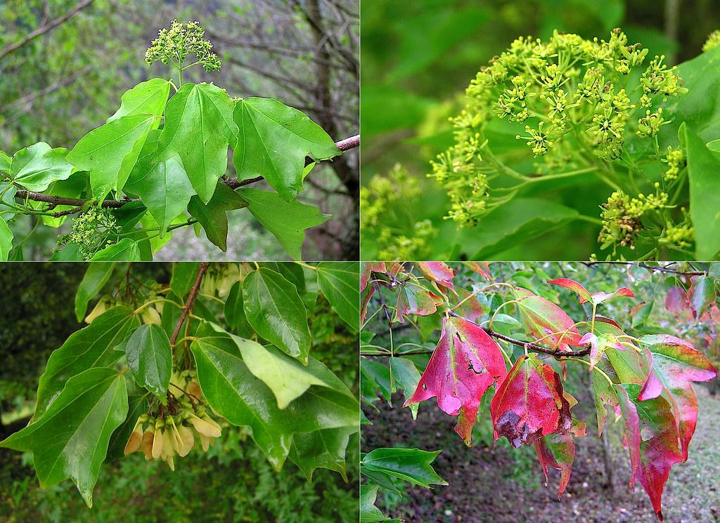 Acer Buergerianum Miq 1865 Sapindaceae Arbol Caducifoli Flickr