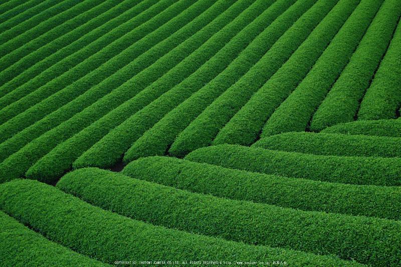山添村,お茶畑(K70_1051RRS,28 mm,F8,iso100)2016yaotomi