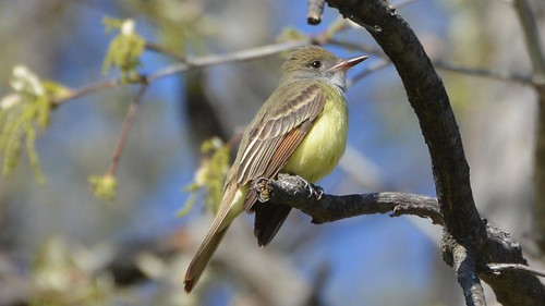 Great Crested Flycatcher | by Wildreturn