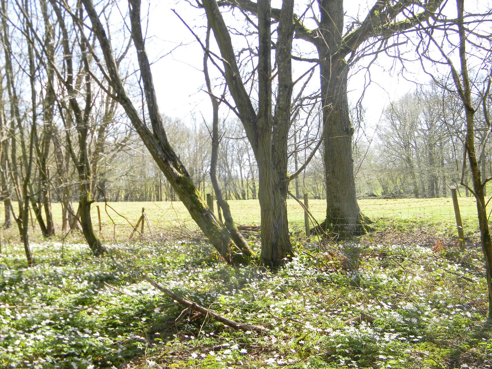 Wood,,with wood anenomes Robertsbridge to Battle
