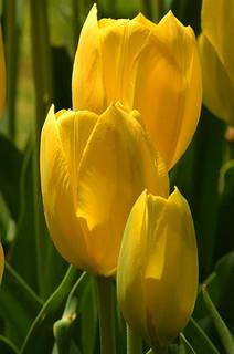 Longwood Tulips -12 Kathy   by KathyCat102