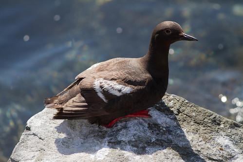 Pigeon Guillemot | by jack4rogers