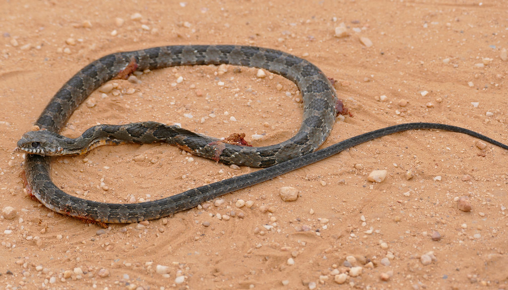 Rio Tropical Racer (Mastigodryas bifossatus) found dead on the road ...