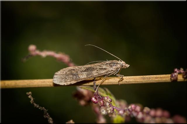 Rush Veneer (Nomophila noctuella)