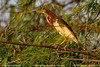 Chinese Pond-heron (Ardeola bacchus) by aviceda