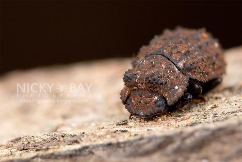 Darkling beetle (Bolitoxenus bifurcus) - DSC_0871 | by nickybay