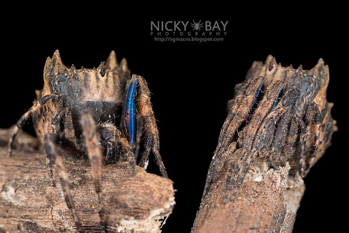 Tree Stump Orb Weaver (Poltys sp.) - DSC_0640_text | by nickybay