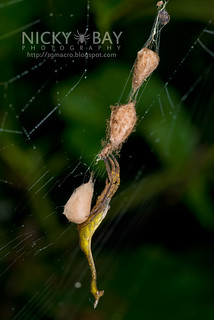 Scorpion-Tailed Spider (Arachnura sp.) - DSC_0570   by nickybay