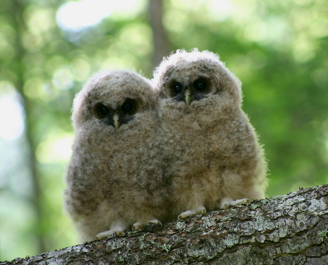 Northern Spotted Owlets