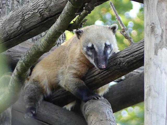 Nasenbär, Zoo d´Amneville