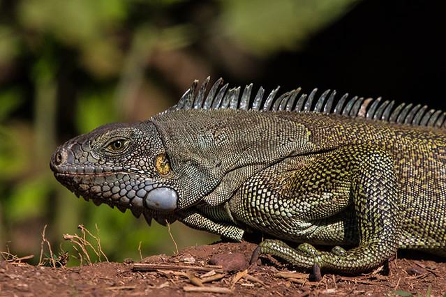 Iguana-verde (Iguana iguana) - Estrada Parque, Pantanal da Nhecolândia, MS.