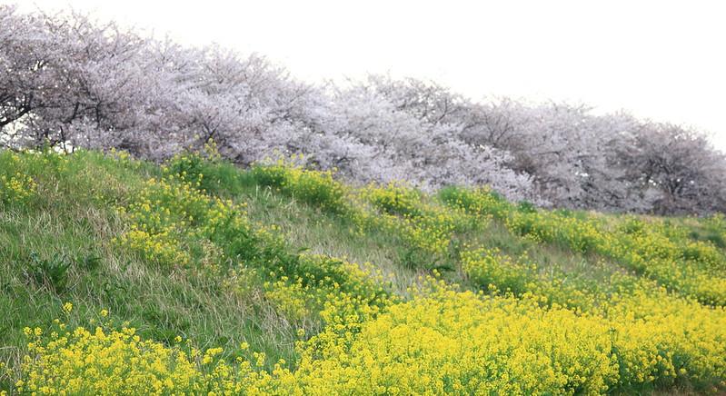 Sakura and Wild turnip / 桜と菜の花(さくらとなのはな)