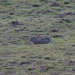 Rabbit, Talygarn