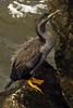 Spotted Shag or Cormorant Phalacrocorax punctatus or Stictocarbo punctatus by Maureen Pierre