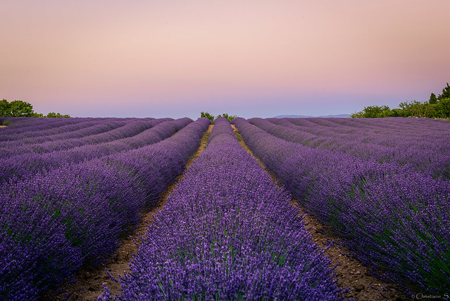 Lavender field at sunset...