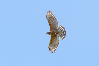 Red-shouldered Hawk with half of Shad | by Ryan J Sanderson