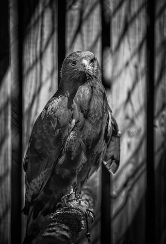 blackandwhite bird northcarolina cage april huntersville 2013 carolinaraptorcenter