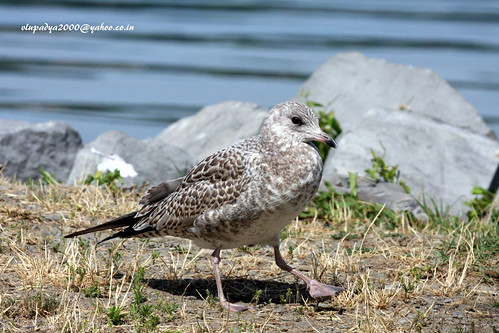 IMG_0904 Ring-billed Gull (Larus delawarensis)-1st Winter | by vlupadya