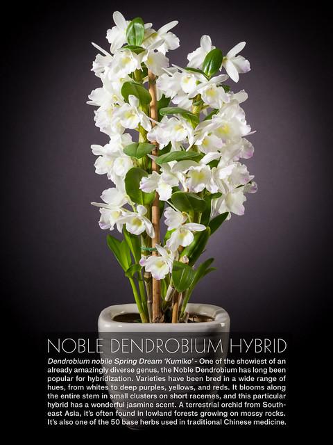 Noble Dendrobium Hybrid