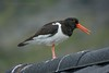 Oystercatcher by Peter Maguire