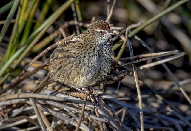 New Zealand native Fernbird _2357