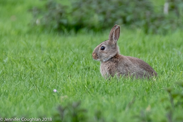 Bunny in the briar patch