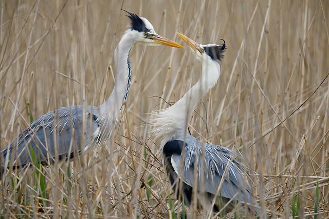 Grey heron family at Ham Wall