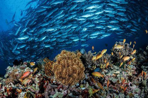 Reef life and jackfish school | by Luko GR
