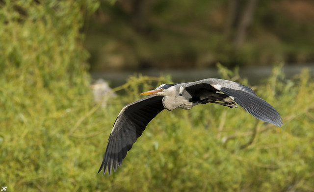 Grey Heron, Wollaton Park.