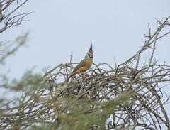 Vermilion Cardinal (Cardinalis phoeniceus) - female