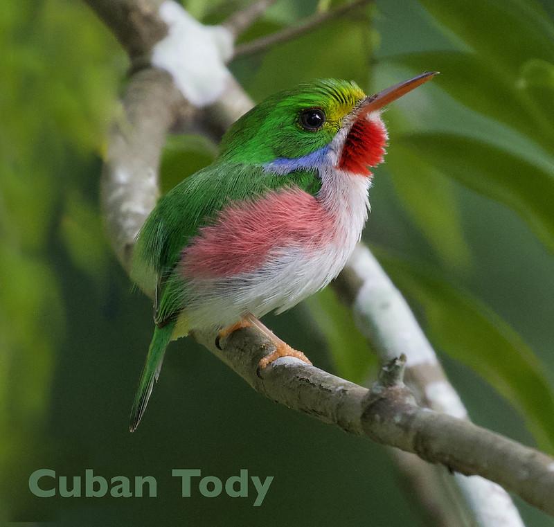 Cuban Tody, Todus multicolor_Ascanio_199A5358