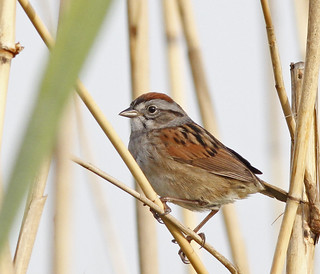 Swamp Sparrow | by dmoon10751
