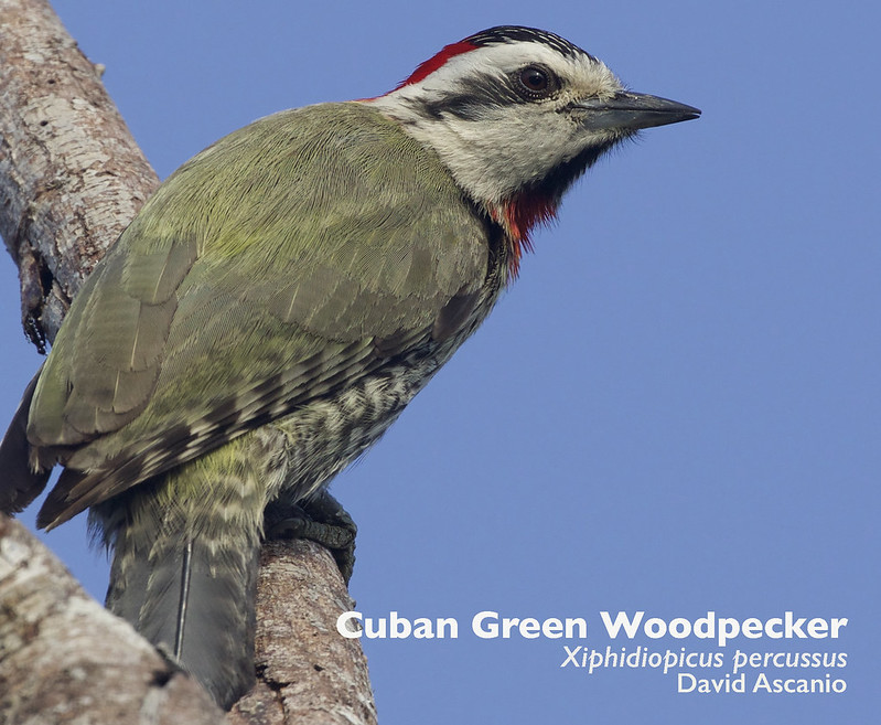 Cuban Green Woodpecker, Xiphidiopicus percussus_199A3460
