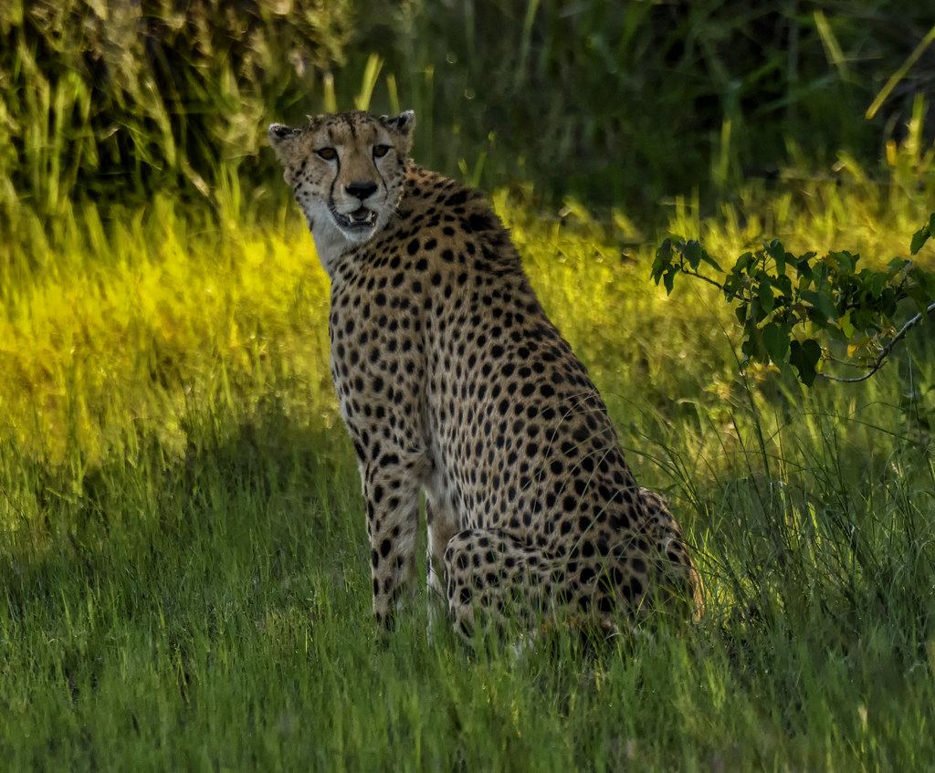 Southern African Cheetah The Cheetah Is A Fast But Timid