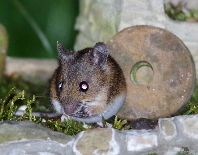 wild wood mouse  and a little house  (1)