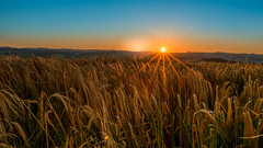 Sonnenaufgang über einem Weizenfeld