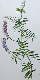 Vogelwikke / Tufted vetch / Vicia cracca | by Renk Knol