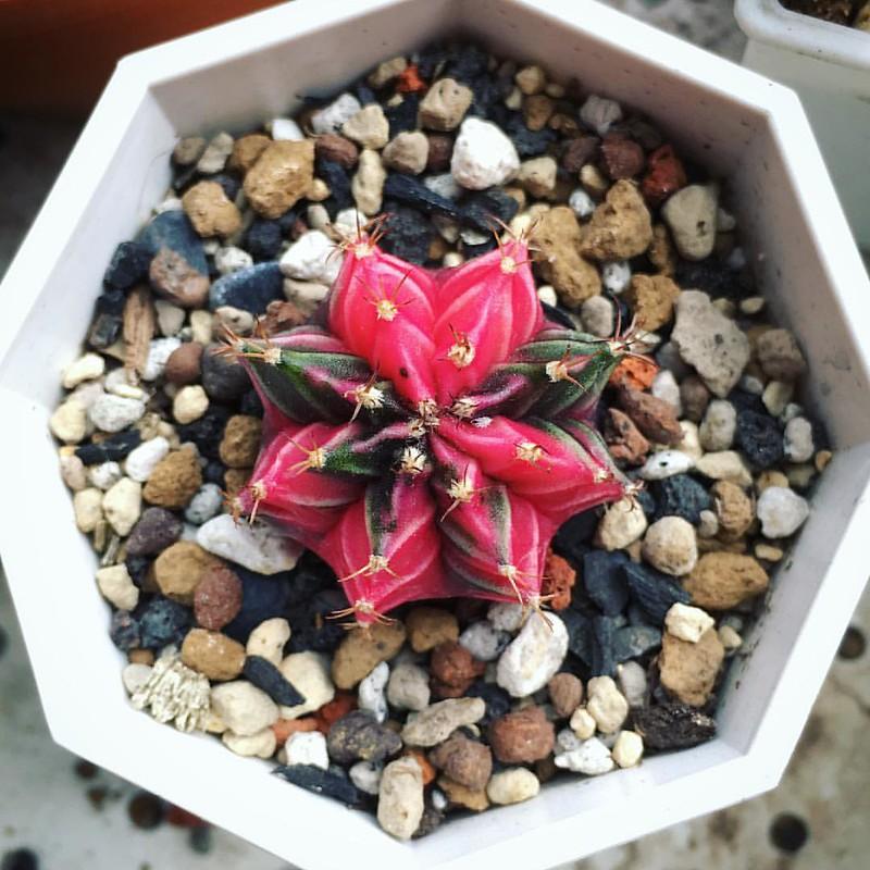 緋牡丹錦。  #仙人掌 #緋牡丹錦 #多肉 #多肉植物 #多肉ちゃん #園藝 #cactus #cactaceae #succulent #succulents #plant #garden #fall #taiwan #taichung