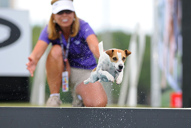 Jack Russell in Flight, 2013 Purina Pro Plan Incredible Dog Challenge
