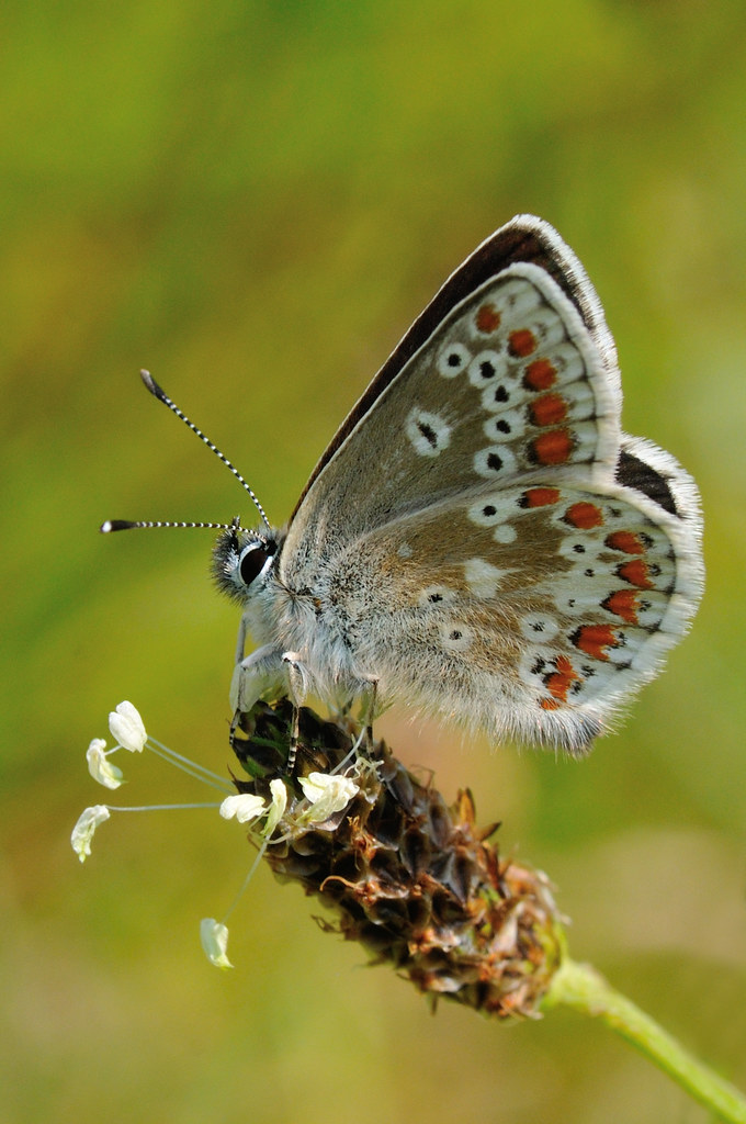 Northern Argus: Northern Brown Argus- Aricia Artaxerxes Salmacis
