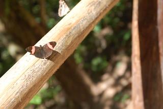 Butterfly near San Ramón, Chanchamayo, Junín, Peru | by blueskylimit