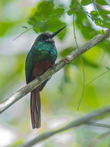 Galbula tombacea - White-chinned Jacamar (male) | by Juango8a