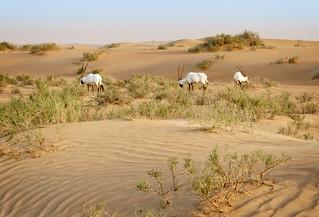 Arabian oryxes | by Tigra K