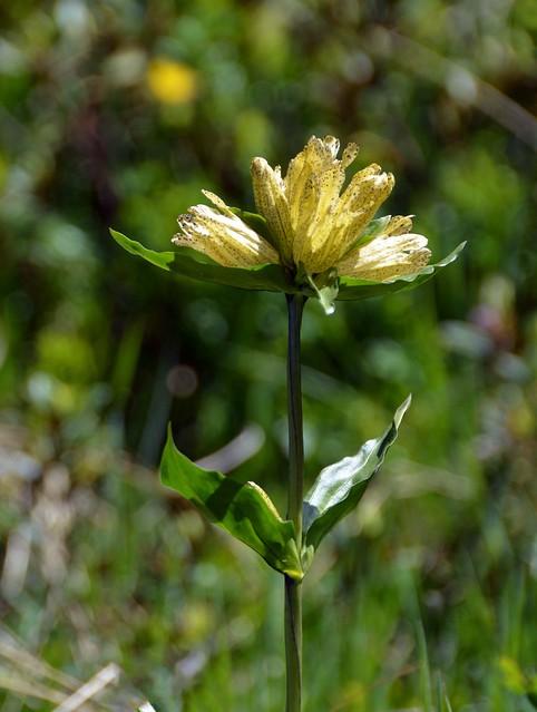 Genziana punteggiata (gentiana punctata)