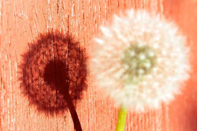 Shadow of dandelion