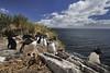Rockhopper penguins by Arddu