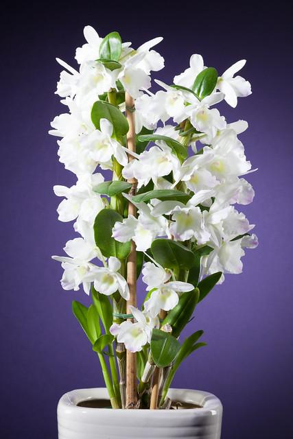 Noble Dendrobium 7173