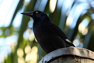 Pied currawong | by dmmaus