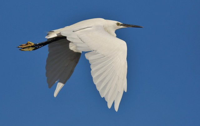 Little Egret against the clear blue sky